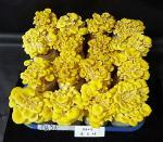 노랑느타리버섯ㆍ닥나무 추출물, 피부 노화 방지
