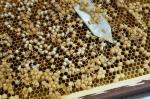 '수벌 번데기', 새로운 식품원료로 인정
