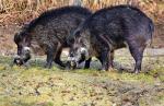 독일산 돼지고기 수입금지…아프리카돼지열병 발생