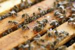 양봉농가, 꿀벌 사육 시작한 날부터 30일 이내에 등록신청서 제출해야